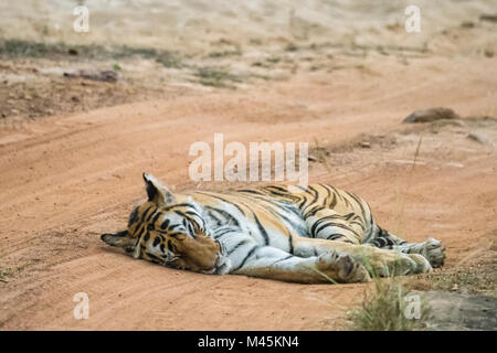 Adult female Bengal Tiger, Panthera tigris tigris, sleeping in the road in Bandhavgarh Tiger Reserve, Madhya Pradesh, - Stock Image