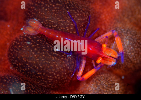 Commensal shrimp (Periclimenes imperator) living on red Sea cucumber, Lembeh Strait, Sulawesi, Indonesia - Stock Image