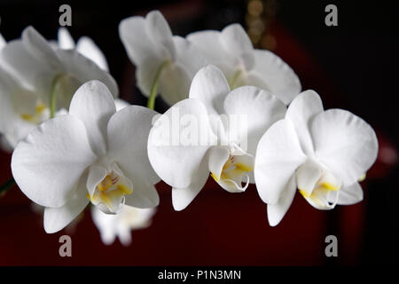 Close up of white Phalaenopsis Orchid blooms flowers - Stock Image