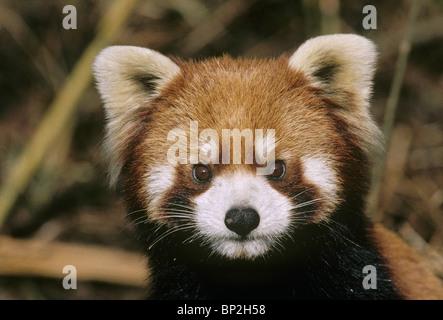 Red or lesser panda China - Stock Image