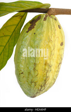 hanging cocoa pods - Stock Image