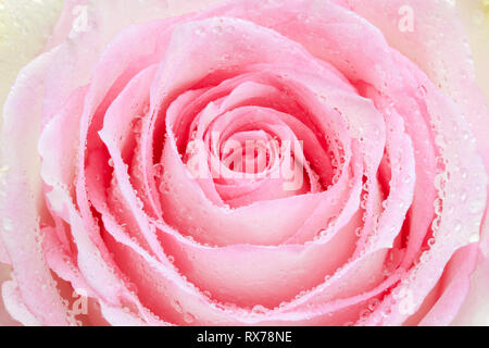 botany, rose, rose bloom, Additional-Rights-Clearance-Info-Not-Available - Stock Image