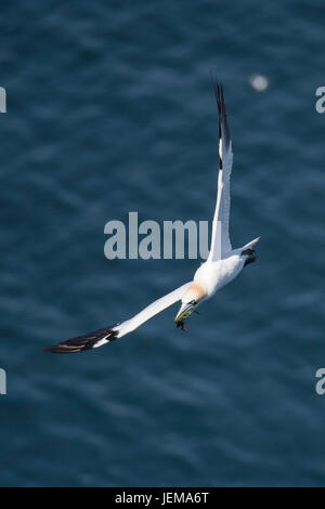 Adult Northern gannet, Morus bassanus, flying and carrying seaweed near Bempton Cliffs, Yorkshire, England, United - Stock Image