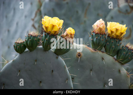 Prickly Pear Cactus, Opuntia, with yellow blossoms. - Stock Image