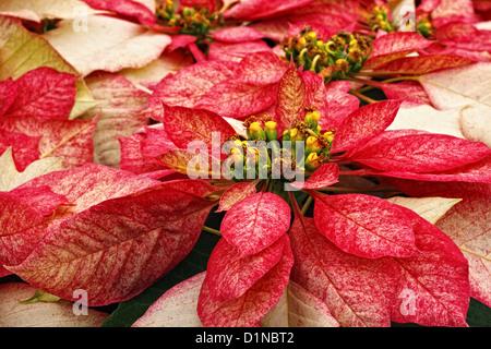 A stock photograph of monet poinsettias plants. - Stock Image