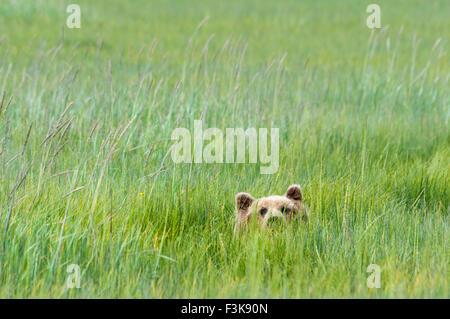 Adult Grizzly Bear, Ursus arctos, peeking up from green sedge grass, Lake Clark National Park, Alaska, USA - Stock Image