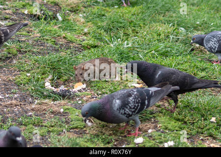 A brown rat (Rattus norvegicus) scavenging a piece of bread  surrounded by urban pigeons (columba livia)on the bank of the river Avon in chippenham - Stock Image