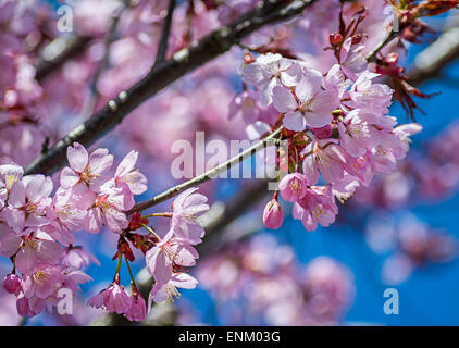 Pink Japanese Cherry Blossoms in the spring - Stock Image