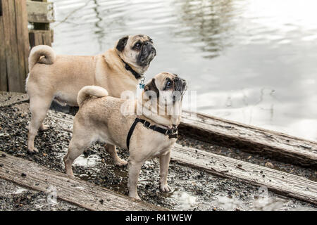 Redmond, Washington State, USA. Two fawn Pugs posing by the Sammamish river in Marymoor Park. (PR) - Stock Image