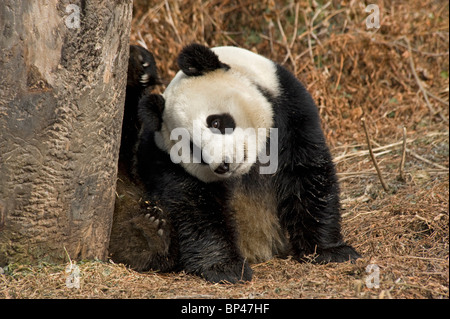 Giant panda scratches head with rear foot, scratch marks on tree trunk from claws, Wolong China - Stock Image
