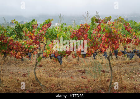 Grape harvest - Serra da Estrela - Black grapes growing in the vineyard on a misty morning - red and green leaves - Stock Image