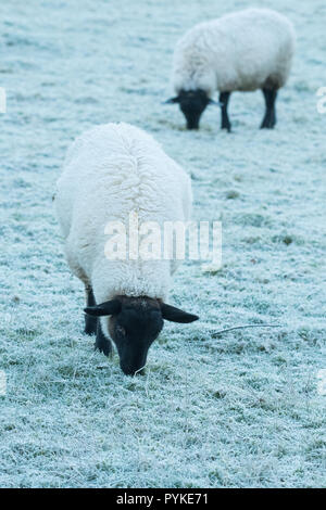 Killearn, Stirlingshire, Scotland, UK. 29th Oct, 2018. uk weather - a cold breakfast for sheep on a misty and frosty start to the day in Stirlingshire Credit: Kay Roxby/Alamy Live News - Stock Image