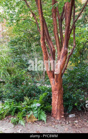 ASHEVILLE, NC, USA-10/25/18: A paperbark maple tree in the NC Arboretum. - Stock Image