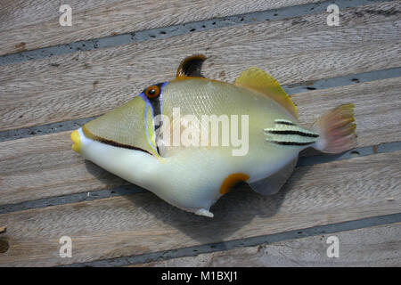 Beautiful tropical fish from the Red Sea, which are caught on bait. Arabian Picasso triggerfish - Stock Image