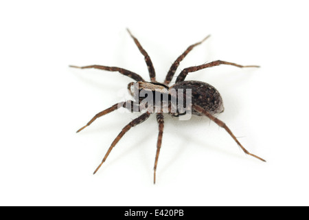 Female Burnt wolf-spider (Xerolycosa nemoralis), part of the family Lycosidae - Wolf spiders. Isolated on white - Stock Image