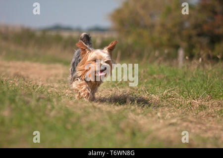 Yorkshire terrier walking in countryside (south downs, Brighton) - Stock Image