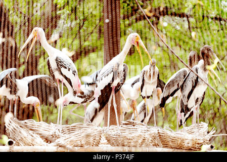 Painted storks - Stock Image