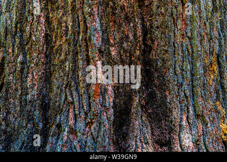 Closeup on the bark of the Ponderosa Pine- Pinus ponderosa- with colorful hues blue, pink, yellow, green, from lichens - texture or background - Stock Image