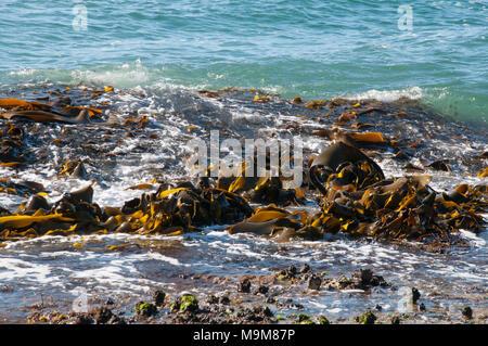 Kelp at Adventure Bay, Bruny Island, Tasmania, Australia - Stock Image