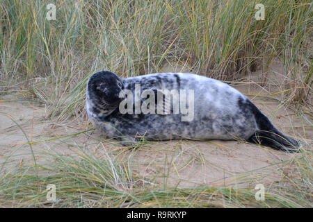 Horsey Beach, Norfolk, UK. 26th Dec, 2018. A young grey seal pup on Horsey Beach, Norfolk, UK on Boxing Day 2018. Every winter a colony of grey seals comes ashore to give birth at Horsey on the Norfolk Coast. When this photographs was taken there were more than 1,000. Credit: Steve Nichols/Alamy Live News - Stock Image