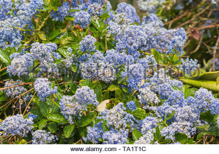 Californian lilac (Ceanothus) plant with blue flowers in Spring (May) in West Sussex, England, UK. - Stock Image