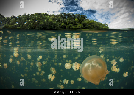 A group of jellyfish, Jellyfish lake, Palau (Mastigias) - Stock Image