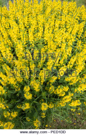 Lysimachia vulgaris, garden loosestrife, yellow loosestrife, garden yellow loosestrife - Stock Image