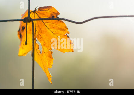 Yellow maple leaf symbolizes autumn. Acer. Beautiful close-up of the dry fallen leaf on a wire fence. Blurred natural background. Small depth of field. - Stock Image