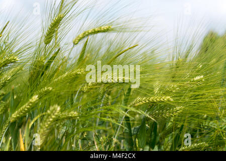 Grain spike - Stock Image