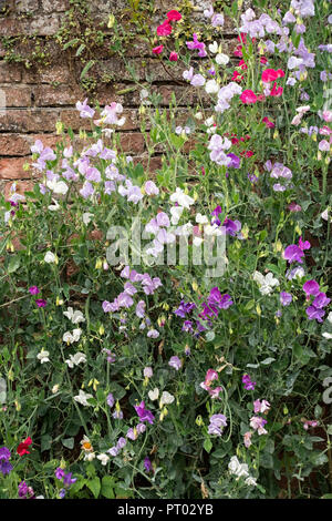 Climbing flowering sweet pea plant against old red brick wall,Derbyshire, UK - Stock Image