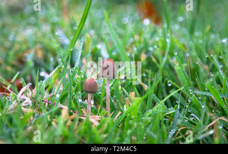 A liberty cap mushroom (Psilocybe semilanceata), known for its hallucinogenic properties, grows in a grassy field in Shropshire, England. - Stock Image