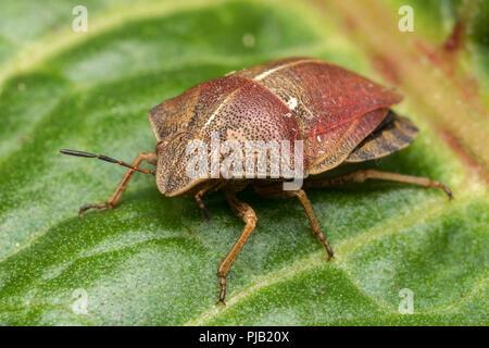 Tortoise Shieldbug (Eurygaster testudinaria) resting on dock leaf. Tipperary, Ireland - Stock Image