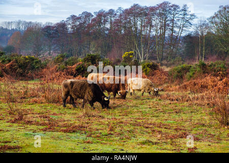 Cattle grazing for habitat conservation on Kent Wildlife Trust nature reserve in winter. Hothfield Heathlands, Ashford, Kent, England, UK, Britain - Stock Image
