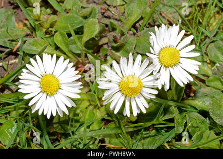 Bellis perennis (common daisy) is native to western, central and northern Europe, and is a common species of close-cropped grassland. - Stock Image