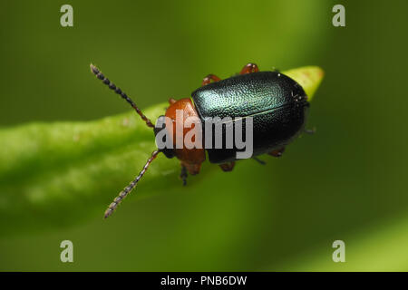Dorsal view of Leaf Beetle (Gastrophysa polygoni) perched on tip of dock leaf. Tipperary, Ireland - Stock Image