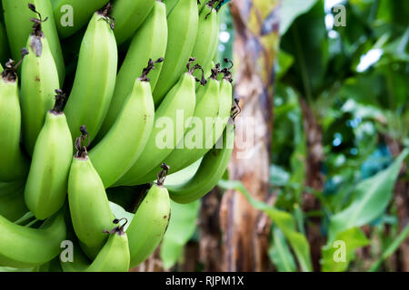 Bunch of green bananas on a tree in a plantation. - Stock Image