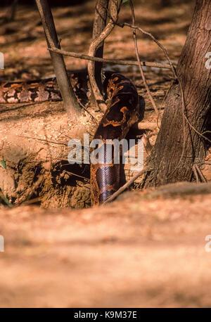 male Indian Rock Python or Indian Python or Black-Tailed Python,(Python molurus),in ground den,Keoladeo Ghana National - Stock Image