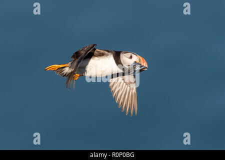 Atlantic Puffin (Fratercula arctica) in flight over the sea, with a beak full of  Sand Eels - Stock Image