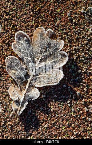 Frozen Oak leaf - Stock Image