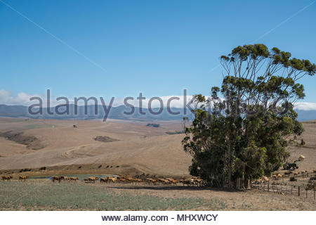 Herd Of Cattle In Farm Field In Western Cape Region Of South Africa - Stock Image