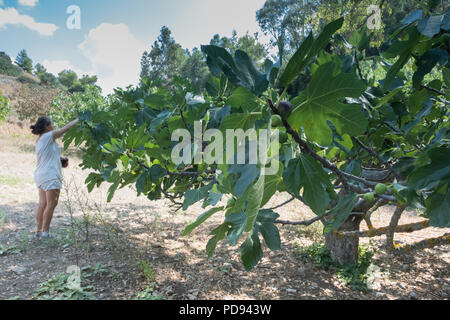 Young lady person picking freshly ripened Fig, ( Ficus carica ) fruit better known as the common fig, Saronida, East Attica, Greece, Europe. - Stock Image
