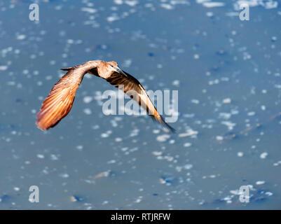 Bird in flight, Tanzania, East Africa - Stock Image