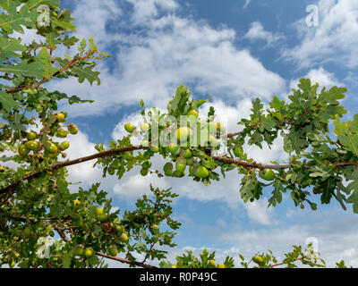 Acorns growing on a young oak tree against a mottled blue sky - Stock Image