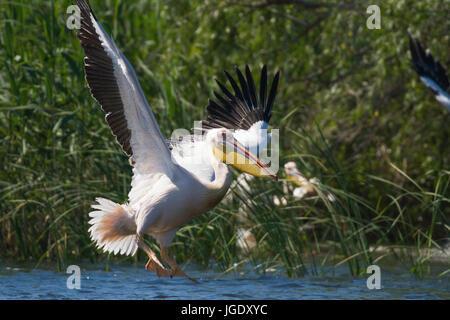 Rose's pelican, Pelecanus onocrotalus, Rosapelikan (Pelecanus onocrotalus) - Stock Image
