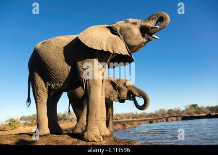 African elephants (Loxodonta africana) drinking at watering hole, Mashatu game reserve, Botswana, Africa - Stock Image