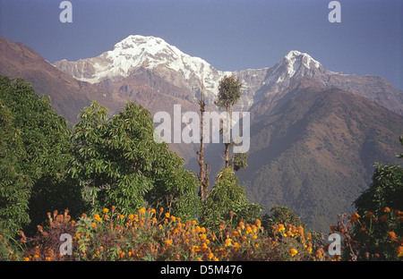 Snowy peaks of Annapurna from Chomrong on Annapurna circuit Nepal Himalayas with trees and marigolds - Stock Image