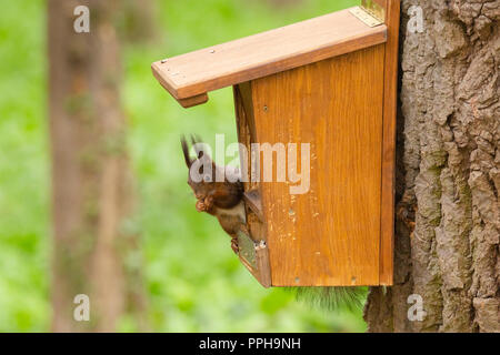 Red squirrel - Stock Image