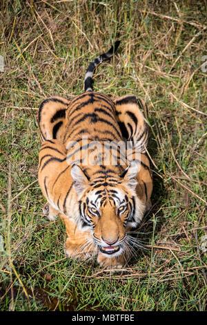 Two year old male Bengal Tiger, Panthera tigris tigris, snarling, looking up from below in the Bandhavgarh Tiger Reserve, Madhya Pradesh, India - Stock Image