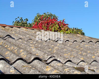 Virginia creeper colorful leaves on autumn growing on asbestos roof - Stock Image