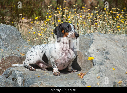 Doxen sitting on a rock with flowers - Stock Image